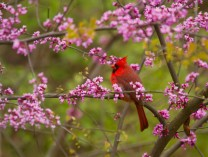 A photo of Cardinal in Red Buds