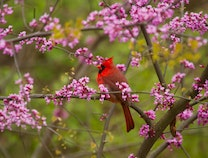 Photo of Cardinal in Red Buds