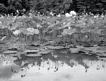 Photo of Lily Pads