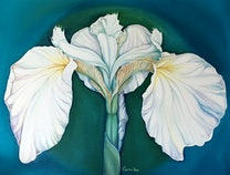 Photo of White Iris