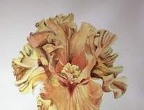 Photo of GOLDEN IRIS